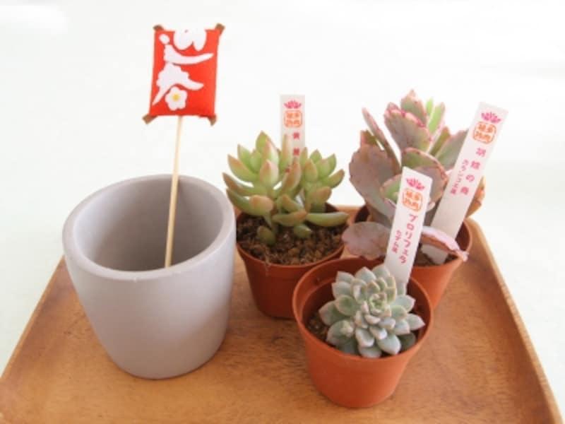 お正月飾り多肉植物