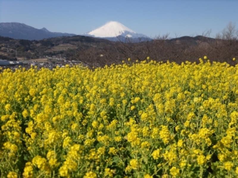 吾妻山公園の菜の花(1)/富士山と共に