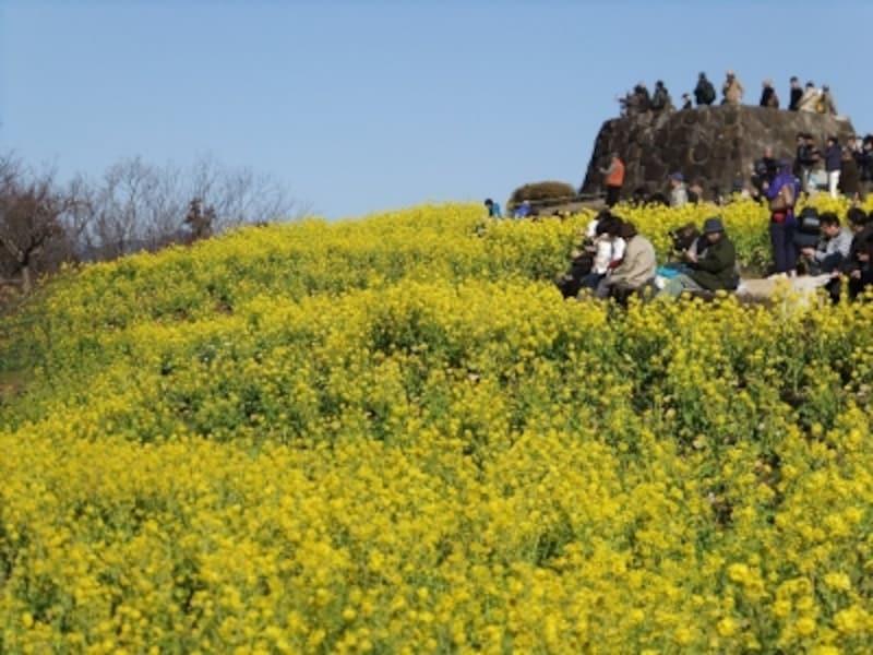 吾妻山公園の菜の花(2)