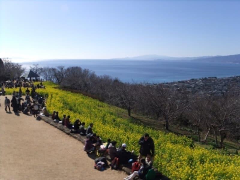 吾妻山公園の菜の花(3)