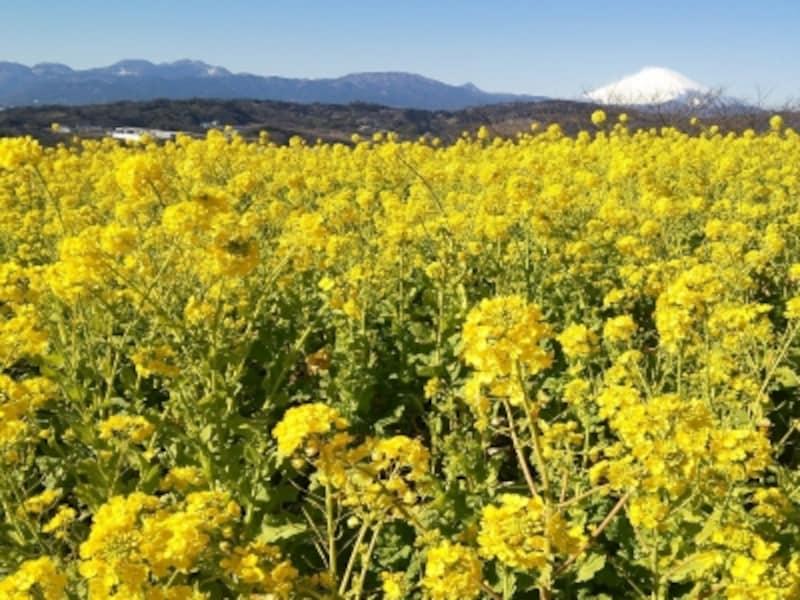 吾妻山公園の菜の花(5)/富士山と共に