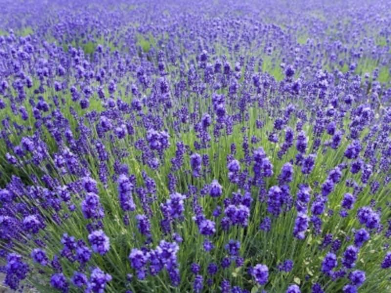 建築家・安藤忠雄が設計した「頭大仏殿」は、夏はラベンダーの紫色に覆われます