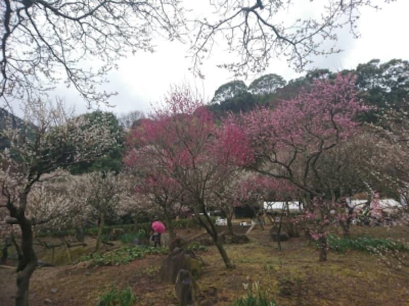 熱海梅園の梅(2)