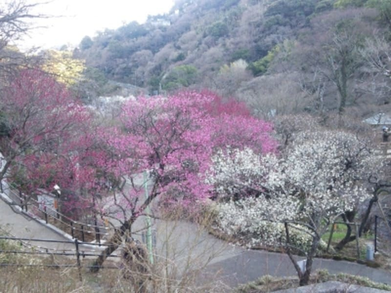 熱海梅園の梅(3)