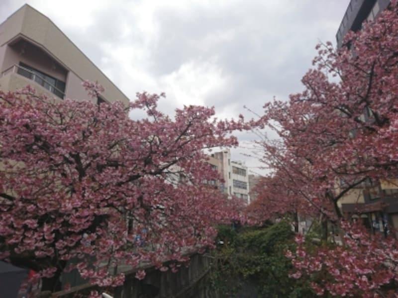 あたみ桜(1)
