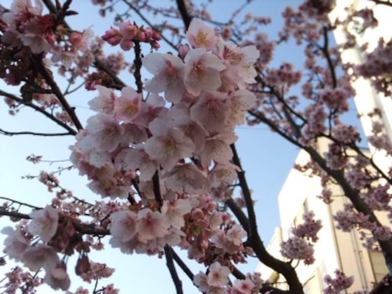 あたみ桜(2)