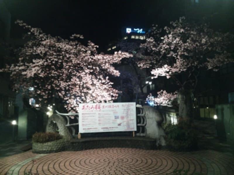 あたみ桜(6)/ライトアップ