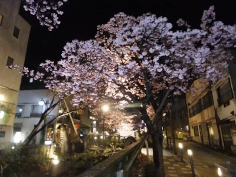 あたみ桜(7)/ライトアップ