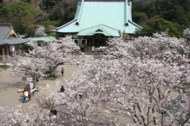 桜の時期は、山門の上から境内に咲き誇る、たくさんの桜を眺めることができ、それは見事