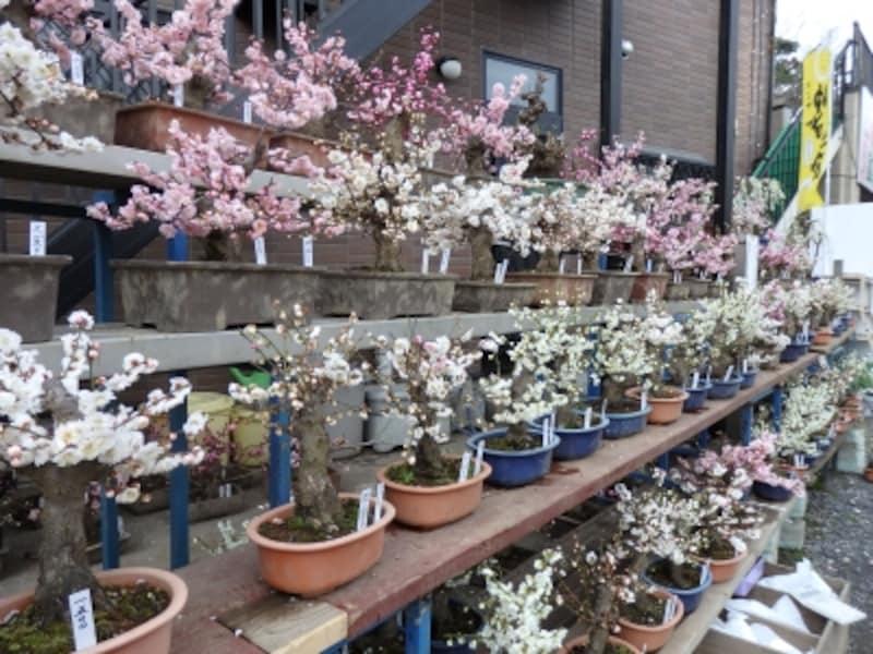 梅林直販所に並ぶ梅の盆栽