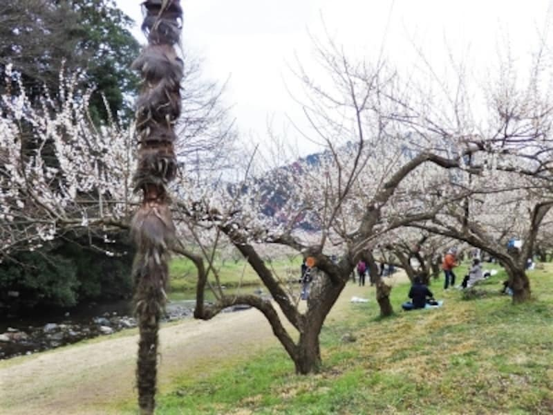 越辺川の河原に並ぶ梅