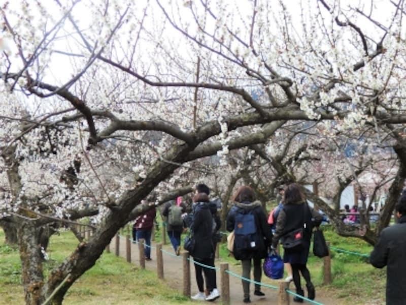梅の花のトンネルを縫う歩道