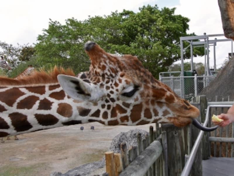 キリンundefined餌undefinedマイアミ動物園