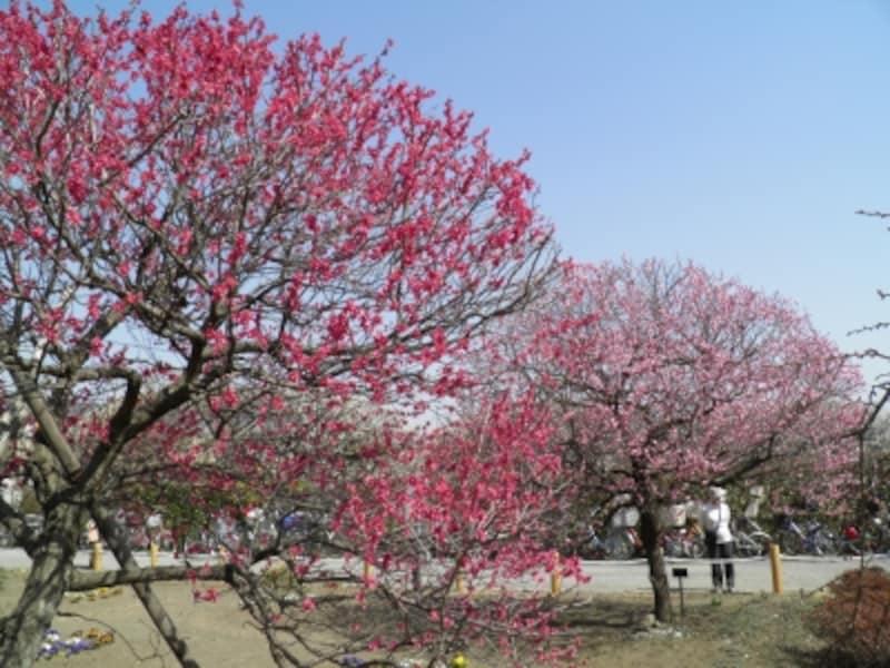 越谷梅林公園の紅梅