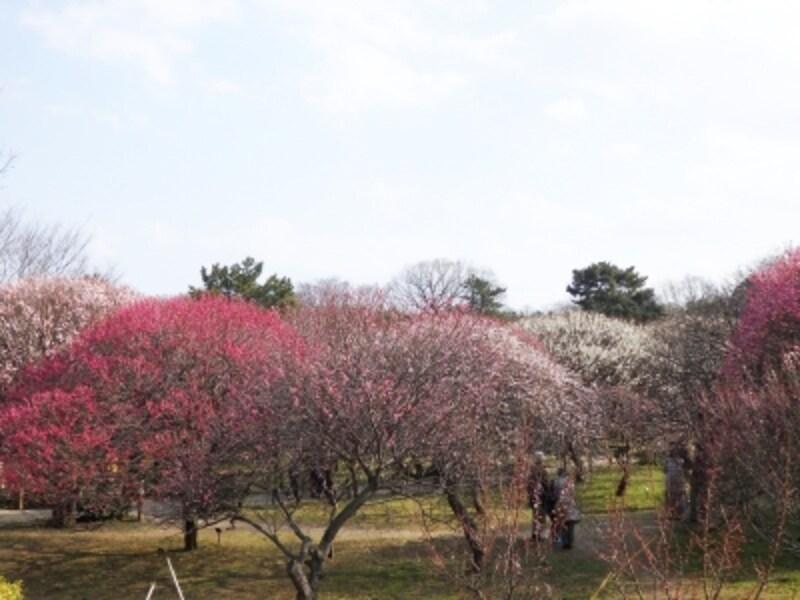 紅梅と白梅が作る色彩のコントラスト