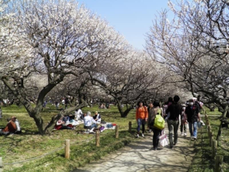 梅の花のトンネルのような園内の歩道