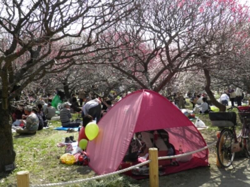 観梅を楽しむ人で埋め尽くされる梅の花の下の広場