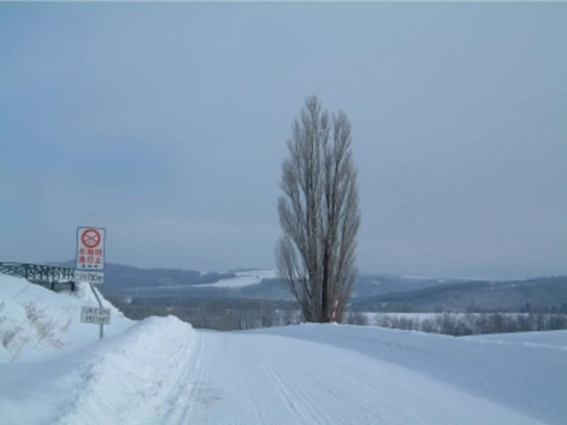 ケンとメリーの木の冬(2007年1月撮影)