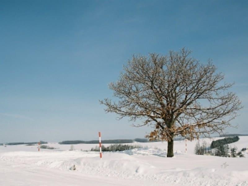 セブンスターの木の冬