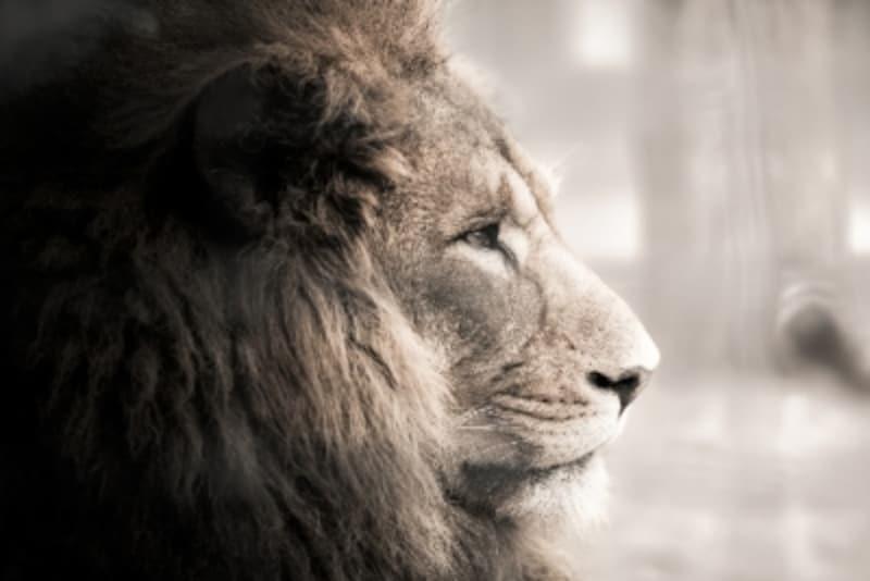 手負いの獅子/イメージ