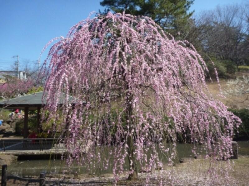 「淡路枝垂(あわじしだれ)」は例年2月中旬~下旬に見ごろを迎えます(画像提供:横浜市港北区地域振興課)