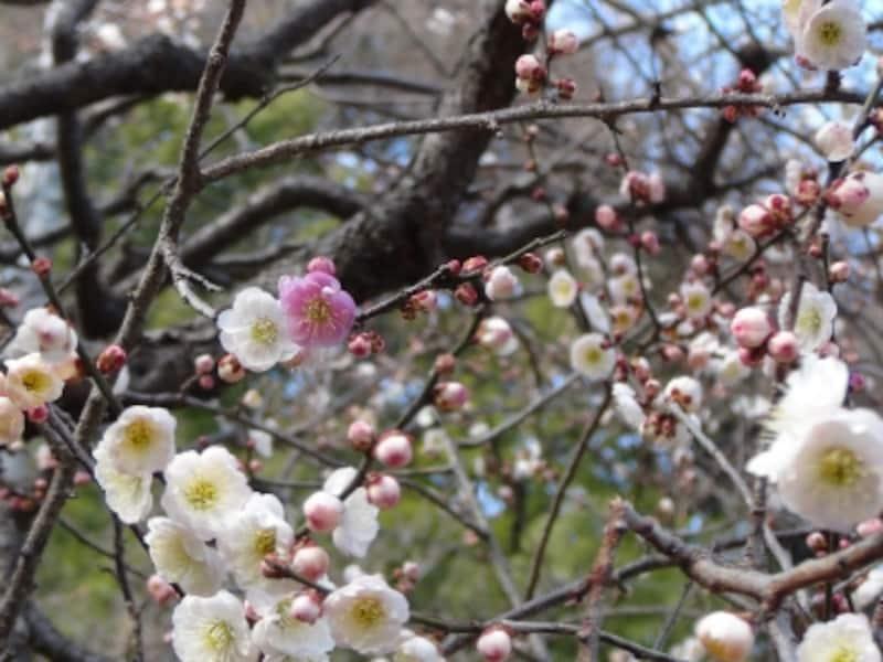 一つの枝に淡い紅、紅、白の花が咲き乱れる「思いのまま」。見ごろは例年3月上旬~中旬(画像提供:横浜市港北区地域振興課)