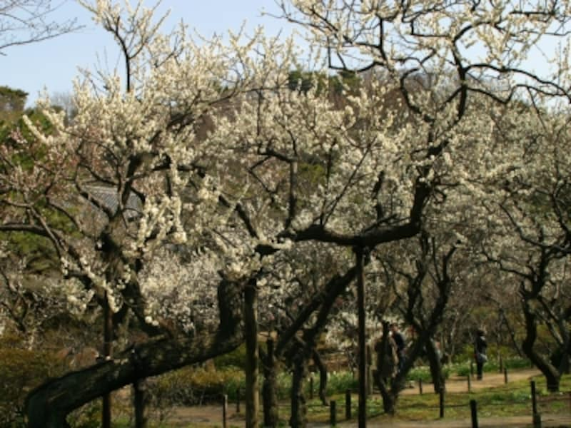 三溪園には約600本の梅が植えられており、2月~3月にかけて順次花が咲いていきます(2012年撮影)