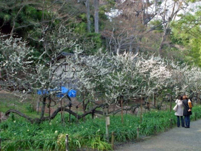 臥竜梅(がりょうばい)は、竜が地を這うような樹形をしています。画家下村観山が、屏風画「弱法師(よろぼし)」(東京国立博物館所蔵)を描く際に、モデルにしたことで知られています(2012年撮影)