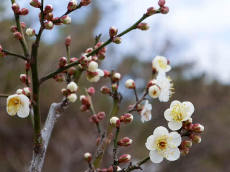 横浜では1月下旬~2月上旬からちらほら咲き始める梅の花。大倉山公園にて(2018年1月29日撮影)