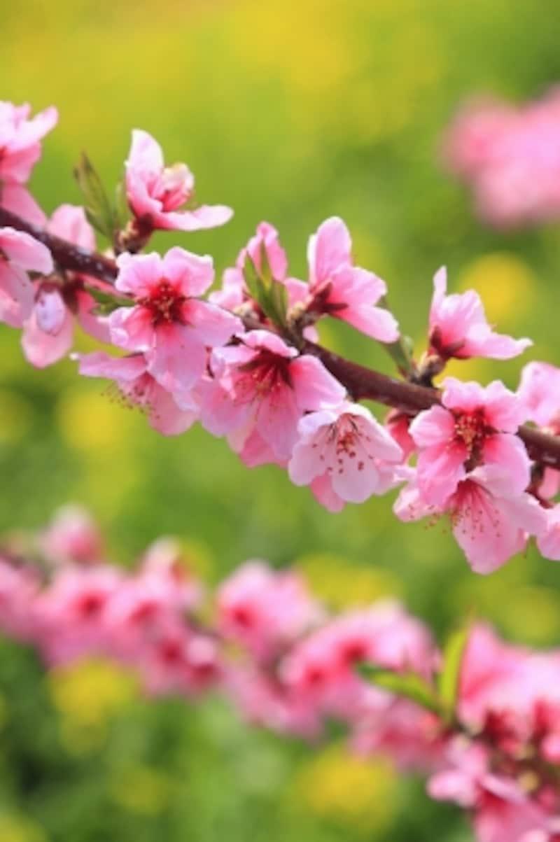 季節感たっぷりの桃の花と菜の花。春ですね♪