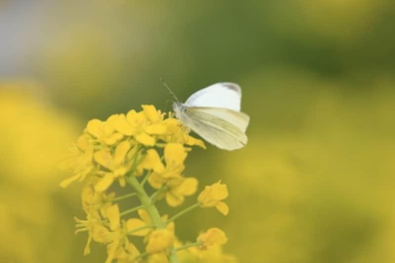 まさに、菜虫化蝶。紋白蝶には菜の花が似合います