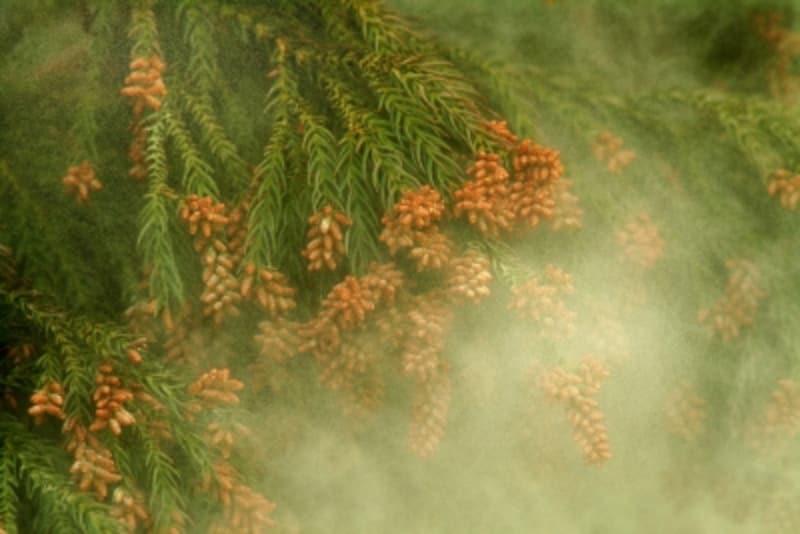 スギ花粉が飛び立つところ