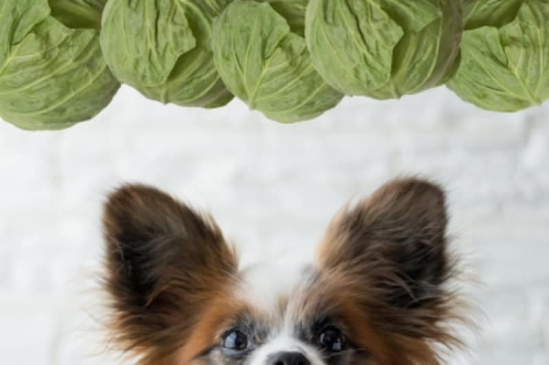 犬undefinedキャベツundefined食べて良いundefined量undefined病気undefined薬undefined食べ合わせ