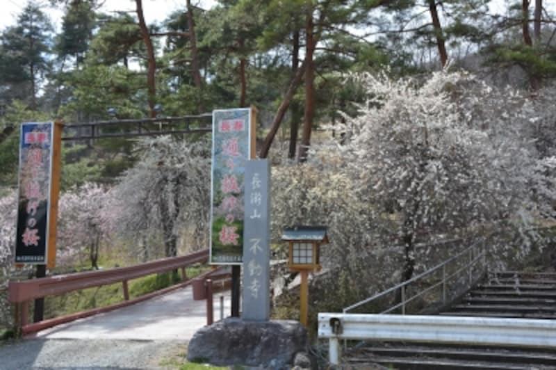 不動寺本堂を中心とする通り抜けの桜