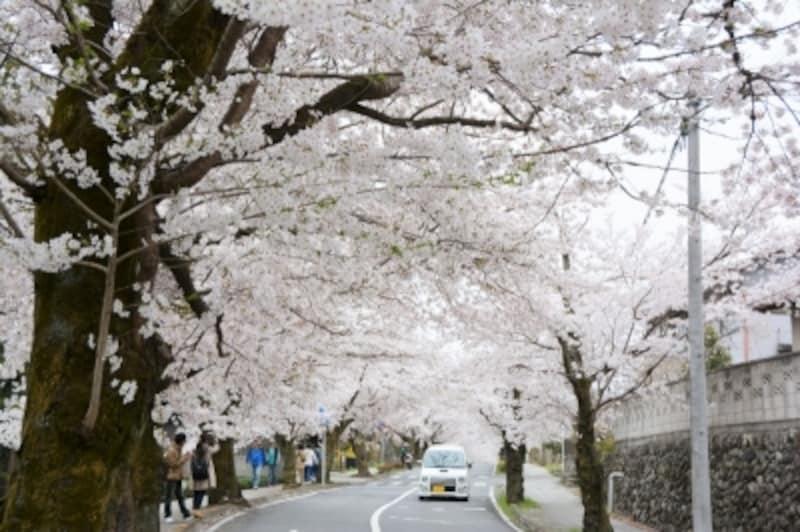 長瀞の桜スポット