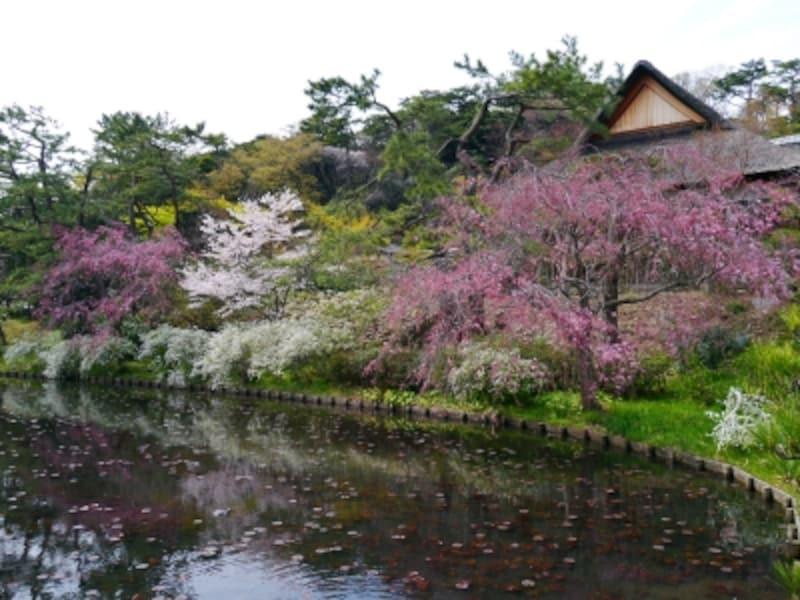 蓮池周辺では、ユキヤナギと桜の競演も(2014年4月2日撮影)