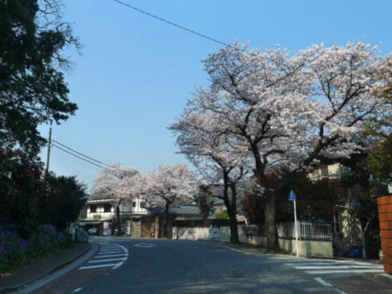 バス停から三溪園正面入口まで約500メートルほどの本牧桜道にも桜並木が(2018年3月28日撮影)