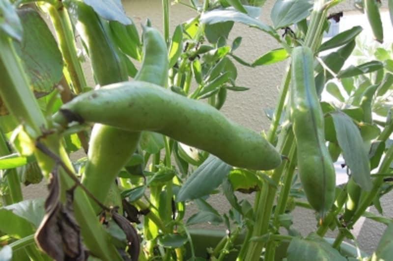 ソラマメundefined収穫