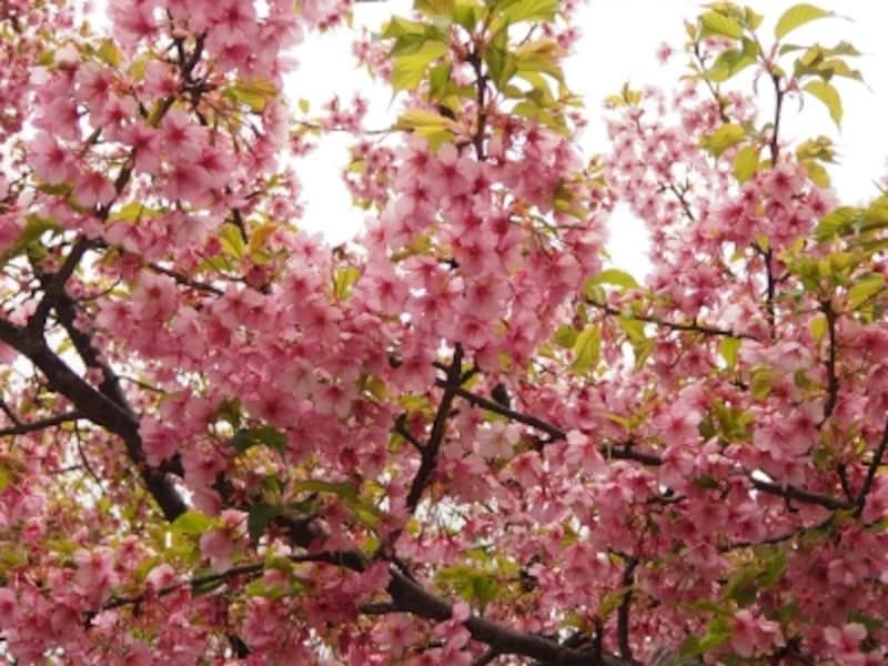 桜神宮の桜は1月の終わりごろから咲き始め1か月を経て満開になる