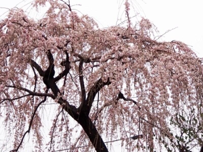 枝垂桜はソメイヨシノよりも1週間ほど早く満開になる