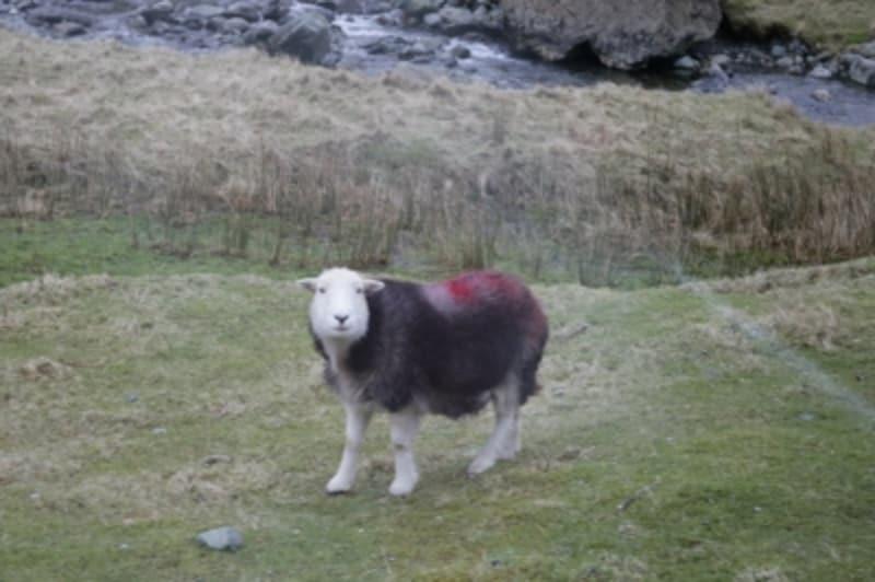 ハードウィック種羊
