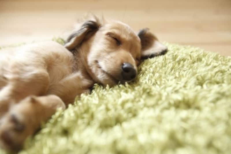 眠るダックスフンド