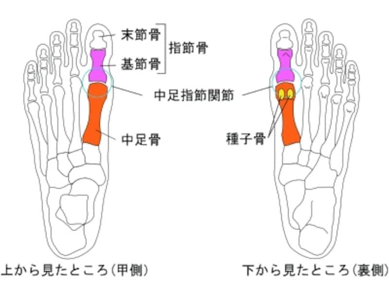 足の骨格と、親指の付け根に関係する名称
