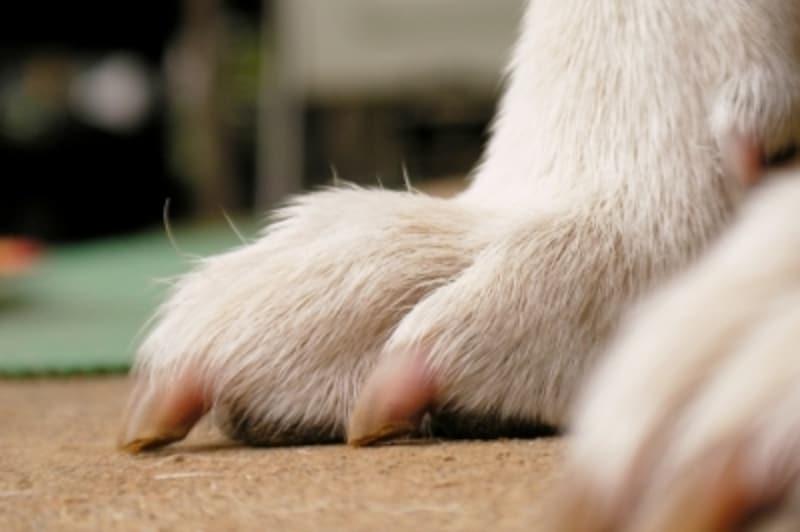 犬の爪(白)