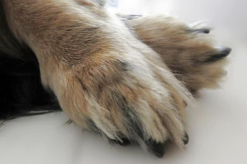 犬の爪(黒)