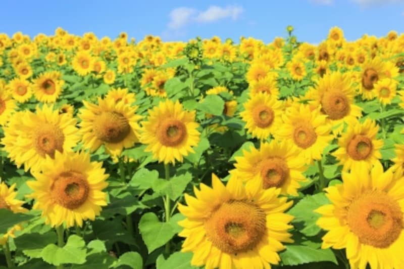 夏の花にちなんだ名前