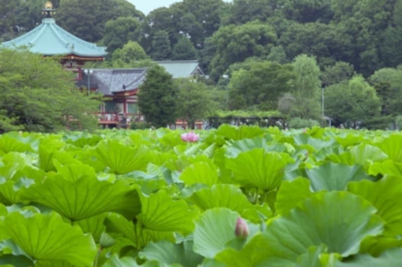 蓮の咲く不忍池