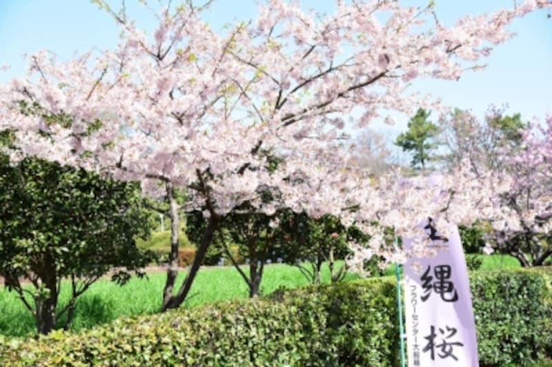 玉縄桜(2017年撮影)