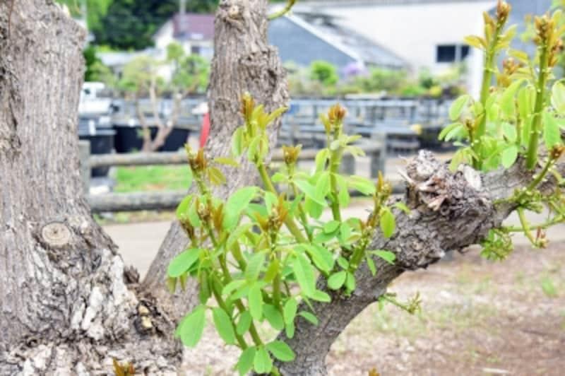 国内では沖縄で見られるデイゴ。新芽が出ており、夏には花を咲かせるだろうという