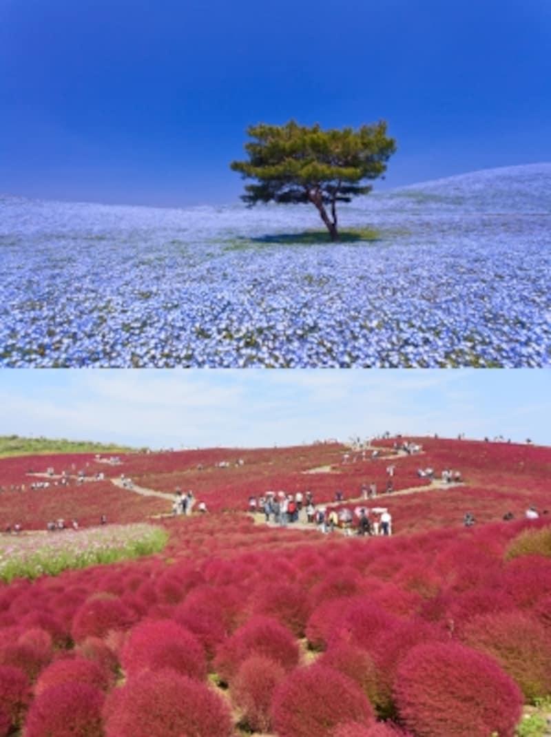 国営ひたち海浜公園の「みはらしの丘」は、春はネモフィラ(写真上)でブルー一色に、秋はコキア(写真下)でレッド一色に染まる